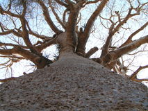 Tall Baobab. A tall baobab taken in the Avenue of the Baobabs near Morondova, Madagascar Stock Image