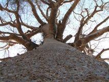 Tall Baobab stock image