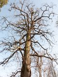 Tall bare branched tree in winter early spring blue sky. Essex; england; uk Stock Photo