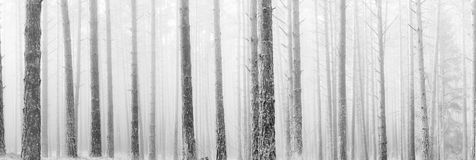Tall bare pine trees in winter fog