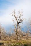 Tall Bare Tree in Sunlight Stock Photo