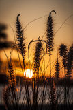 Tall beach grass Royalty Free Stock Photos
