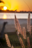 Tall beach grass Royalty Free Stock Images