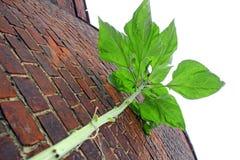 Tall beanstalk plant Royalty Free Stock Photography