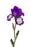 Tall Bearded Iris - German Iris Stock Photo