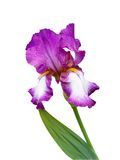 Tall Bearded Iris. German Iris Royalty Free Stock Images