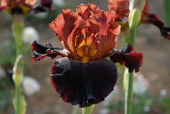 Tall Bearded Iris, Terra Del Fuoco Royalty Free Stock Images