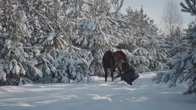 Tall bearded man with adorable brown thoroughbred horse between fir trees. Animal chewing leash and man trying to take. Tall bearded man with adorable brown stock video footage