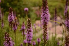 Tall Beautiful Blazing Star Liatris Flowers. A view of beautiful purple Blazing Star Liatris flowers in a local garden stock photos