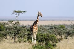 Tall beautiful Giraffe in the grassland Royalty Free Stock Images