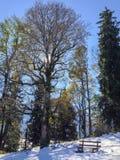 Tall beech in backlight in winter Stock Image