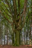 A tall beech tree is standing in a forest Stock Images