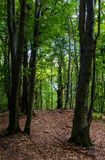 Tall beech trees with green foliage. Beautiful summer nature background Stock Photo
