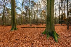 Free Tall Beech Trees In A Carpet Of Fallen Brown-red Leaves Royalty Free Stock Photo - 150499925