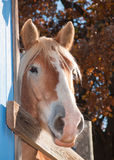 Tall Belgian draft horse peeking at the viewer Royalty Free Stock Photo