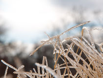 Tall Bermuda grass covered in a solid layer of ice Stock Photos