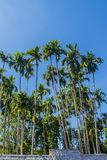 Tall betel trees Areca catechu, also known as areca nut palm, betel palm, Indian nut, Pinang palm. The areca nut, is often chewe royalty free stock photography