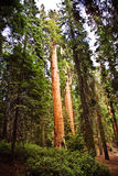 Tall and big sequoias Royalty Free Stock Photos
