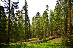 Tall and big sequoias Royalty Free Stock Image