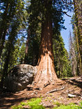 Tall and big sequoias in beautiful Stock Image