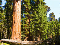 Tall and big sequoias in beautiful Royalty Free Stock Photos
