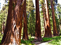 Tall and big sequoias in beautiful Royalty Free Stock Image