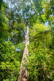 Tall and big tree of Dipterocarpus, Thailand. Stock Photography