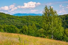 Tall birch tree on grassy hillside in mountains. Beautiful summer landscape in afternoon Stock Photos