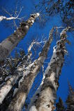 Tall Birch Trees. Extending into a deep, blue sky Royalty Free Stock Image