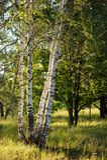 Tall birch trees in morning light Stock Photos