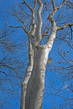 TALL BLEACHED TREE. Tall light grey bare tree in park against blue sky in winter royalty free stock photography