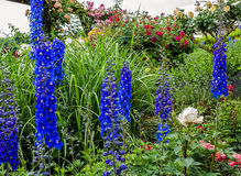 Tall blue Delphinium flowers (Blue Nile). Tall blue Delphinium white eyed flowers (Blue Nile) in a garden Stock Images