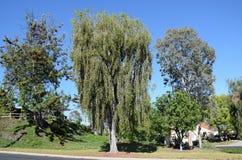 Tall Bottle Brush tree royalty free stock photo