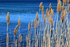 Tall brown sea grass standing against blue ocean water Royalty Free Stock Images