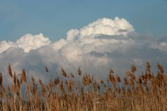 Tall weeds against a cloud filled sky. Tall brown weeds against a white cloud filled blue sky Stock Photo
