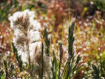 Tall Brushy Bluestem Grass in Late Summer Sun Royalty Free Stock Photos
