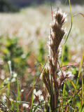 Tall Brushy Bluestem Grass in Late Summer Sun Royalty Free Stock Photo