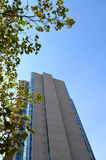 Tall Building through a maple tree Stock Photography