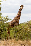Tall Bull Giraffe. A bull giraffe stands above some shrubs in the savanna of Kruger National Park in South Africa; adult male giraffes are larger and have darker Royalty Free Stock Photography