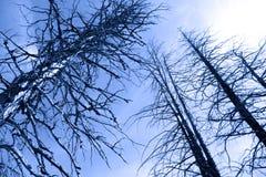 Tall burnt Pine trees Stock Image