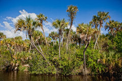 Tall cabbage palms frame edge of river in Everglades Stock Photo