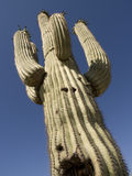 Tall Cactus. Tall four armed cactus against a blue sky with a gun shot wound royalty free stock images