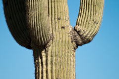 Tall Cactus Stock Photography