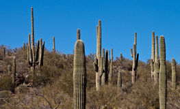Tall Cactus Stock Photos