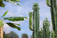 A tall cactus against the sky. Green cactus stock images