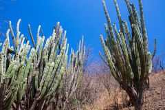 Tall cactus rising over low trees in Colombia Stock Images