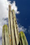 Tall cactus with a sky in the background. Canarias. Tall cactus with a sky in the background. Canary Islands, Laznarote, Jardin de cactus royalty free stock photos