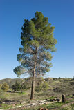 Tall California Meadow Pine Royalty Free Stock Image