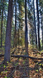 Tall Canadian Forest Stock Photography