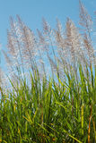 Tall cane sugar in flower Stock Photography